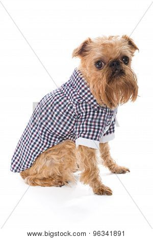 Dog Breed Brussels Griffon In Checkered Shirt
