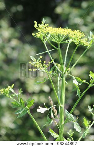 Wild Parsnip Pastinaca sativa