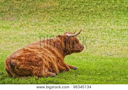 Highland Cow Resting