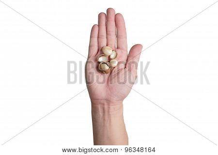 Right Hands Holding Macadamia Nuts