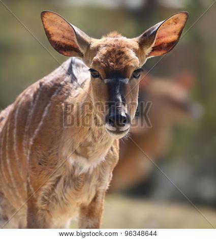 deer portrait.
