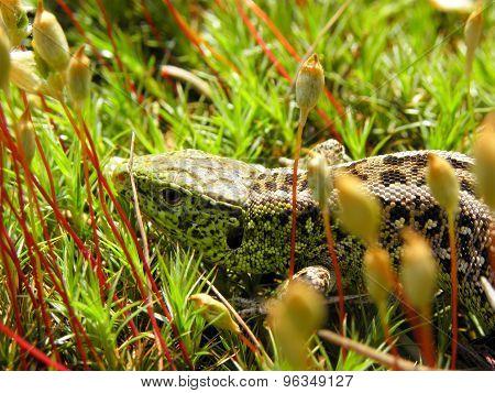 Lizard Blend-in
