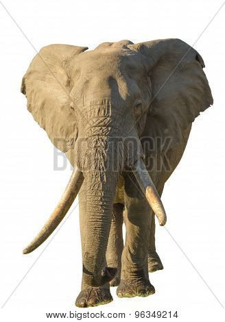 Long tusks Elephant
