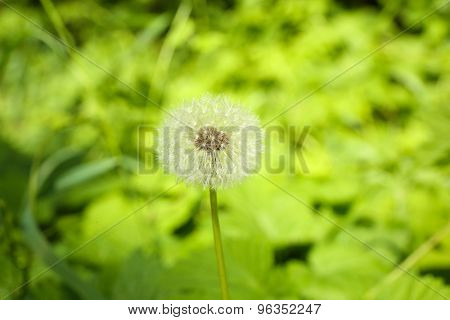 Single white dandelion on blurred natural background