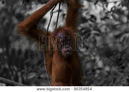 Spotting Wild Orang Utans While Trekking The Jungle Of Sumatra