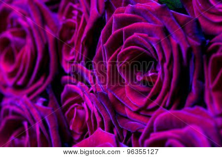 many red roses (shallow DOF)