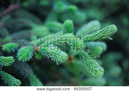 Spruce branches in the woods