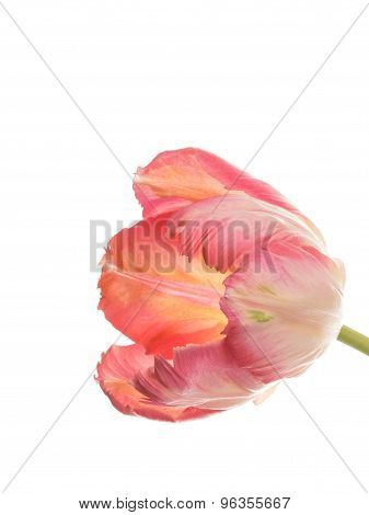 Pink Tulip On A White Background