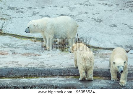Polar Bear With Cubs.