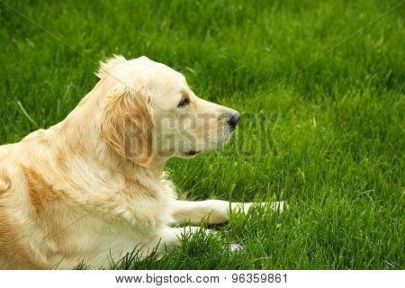 Adorable Labrador lying on green grass, outdoors