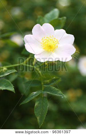 Beautiful  hip roses flower green bush in garden