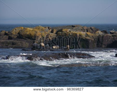 Seals on Rocky Outcropping