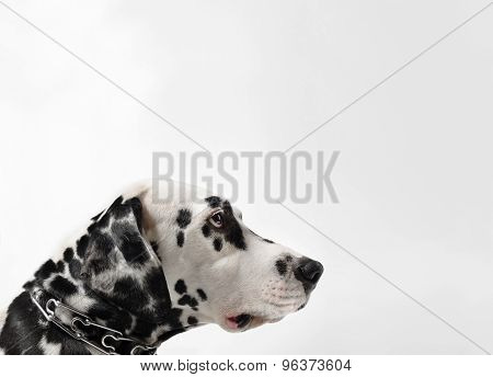 Dalmatian Black And White Portrait