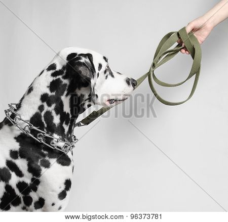 Dalmatian dog on a leash at the mistress