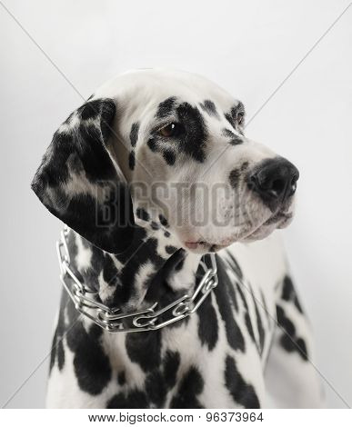 Dalmatian black and white