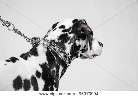 Dalmatian dog on a leash