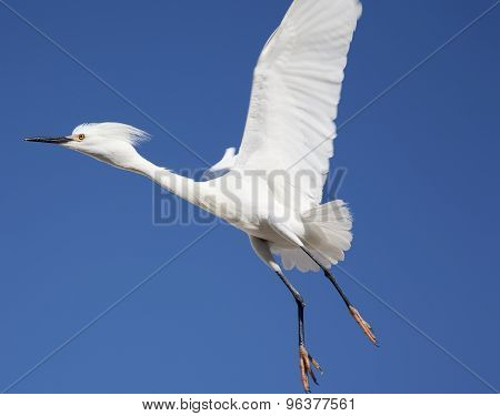 white snow egret in-flight on the roof on a background blue sky