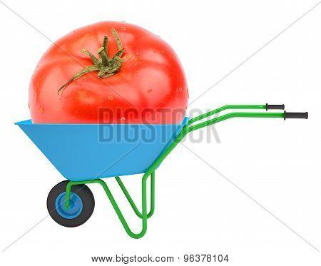 Tomato in hand-barrow