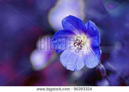 Cranesbill Flower (geranium)  Against A Purple Blue Background