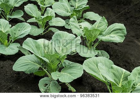 Shoots Of Young Cabbage In The Garden