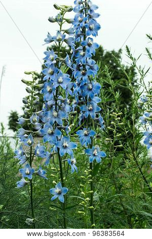 High Delphinium Blue Candles