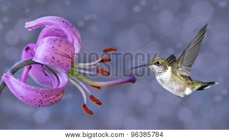 Annas Hummingbird In Flight With Purple Flower