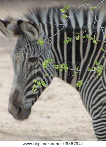 Zebra in Spring
