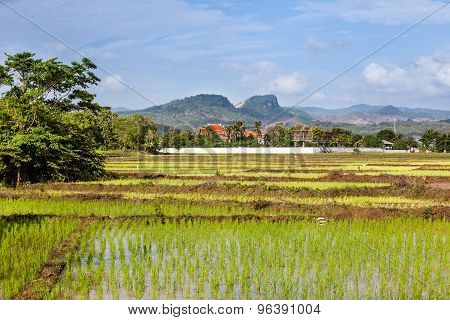 Rice Fields In Thailand