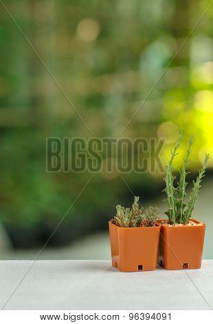 Pots Of Cactus