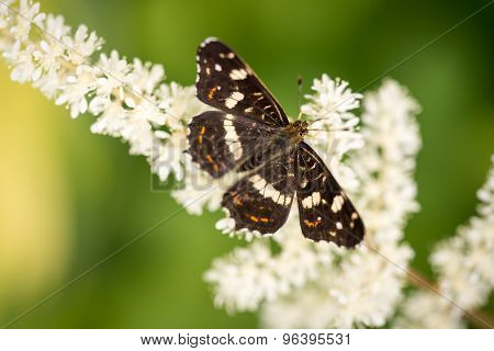 The Dark Brown With White Spots Butterfly Sitting On White Flower