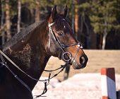 image of chestnut horse  - portrait of chestnut horse during trenirovki in the winter - JPG