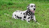 pic of spotted dog  - Dalmatian dog lying on green grass summer - JPG