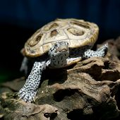 stock photo of carapace  - the diamondback terrapin tortoise with nature background