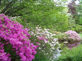 picture of azalea  - The azaleas are in full bloom at Maine - JPG