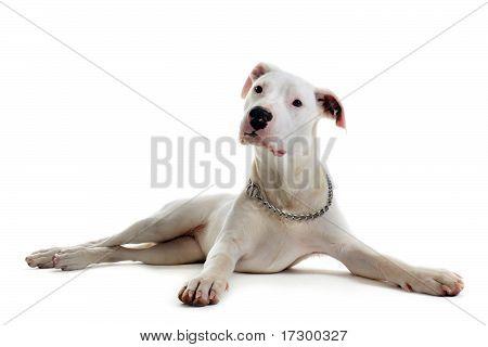 Puppy Dogo Argentino