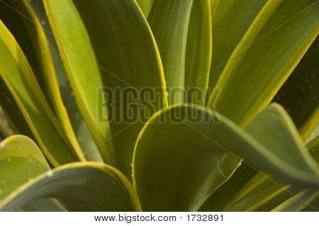 Smooth Agave (Agave Desmetiana)