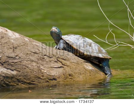 Map Turtle, Graptemys Geographica