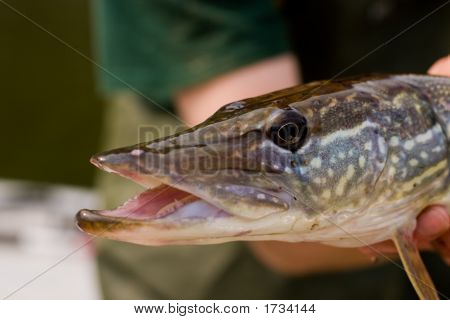 Portrait Of A Vermont Northern Pike