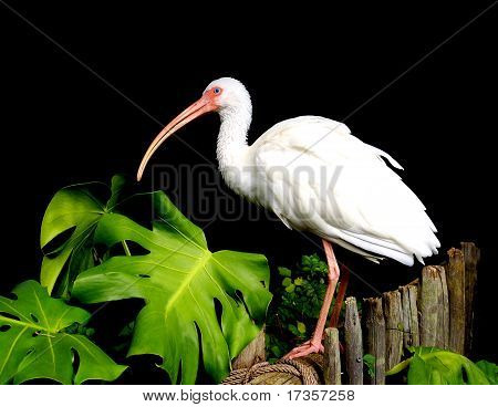 Ibis beautiful white topical bird