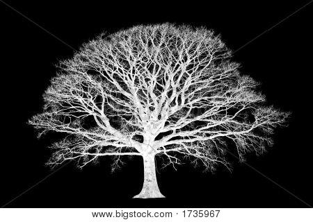 Ethereal Oak