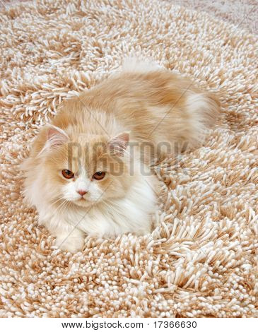 rojo esponjoso persa felinos en la alfombra lanuda