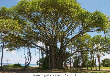 Banyan Tree And Grave