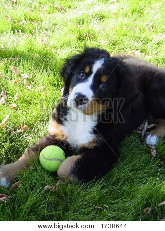 Young Puppy With Its Tennis Ball