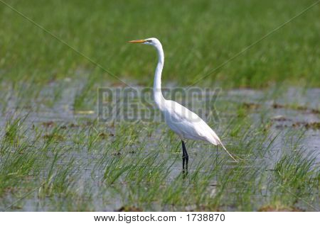 Great Egret Wades In The Marsh