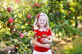 Little Girl Picking Apple In Fruit Garden poster