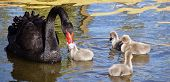Animals - Black Swans poster
