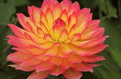 Pink And Yellow Dahlia 02