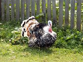 picture of turkey-cock  - turkey cock on a farm near fence - JPG