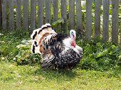 foto of turkey-cock  - turkey cock on a farm near fence - JPG