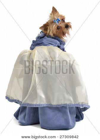 Cute dog with elegant dress, isolated